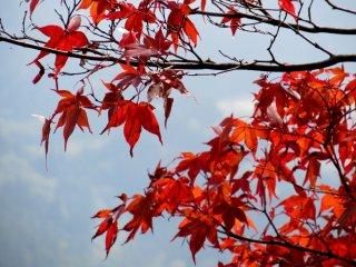 Bright momiji leaves