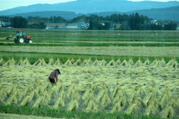 Rice fields in October