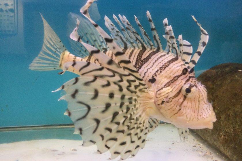 Luna lionfish, minokasago common in waters off Tateyama City