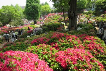 Azalea of different colors and kinds