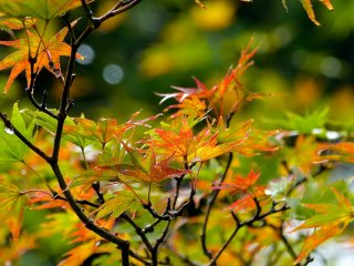 Early autumn leaves