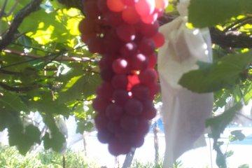Yoshioka Town Ogura Grape Orchards