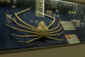 The spider crab that brought back so many good memories for me at the Osaka Natural History Museum near Nagai Park