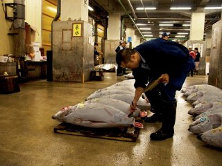 Checking meticulously each tuna