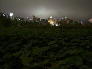 The Shinobazu Pond is covered with lotus plants. This is the largest concentration of lotus in all Tokyo