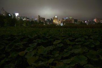 시노바즈 연못은 연꽃으로 덮여있다. 이곳은 도쿄에서 가장 많은 연꽃이 있다