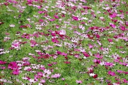 Cúc vạn thọ ở vùng nông thôn Kumamoto