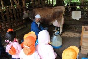 牛の乳しぼり体験