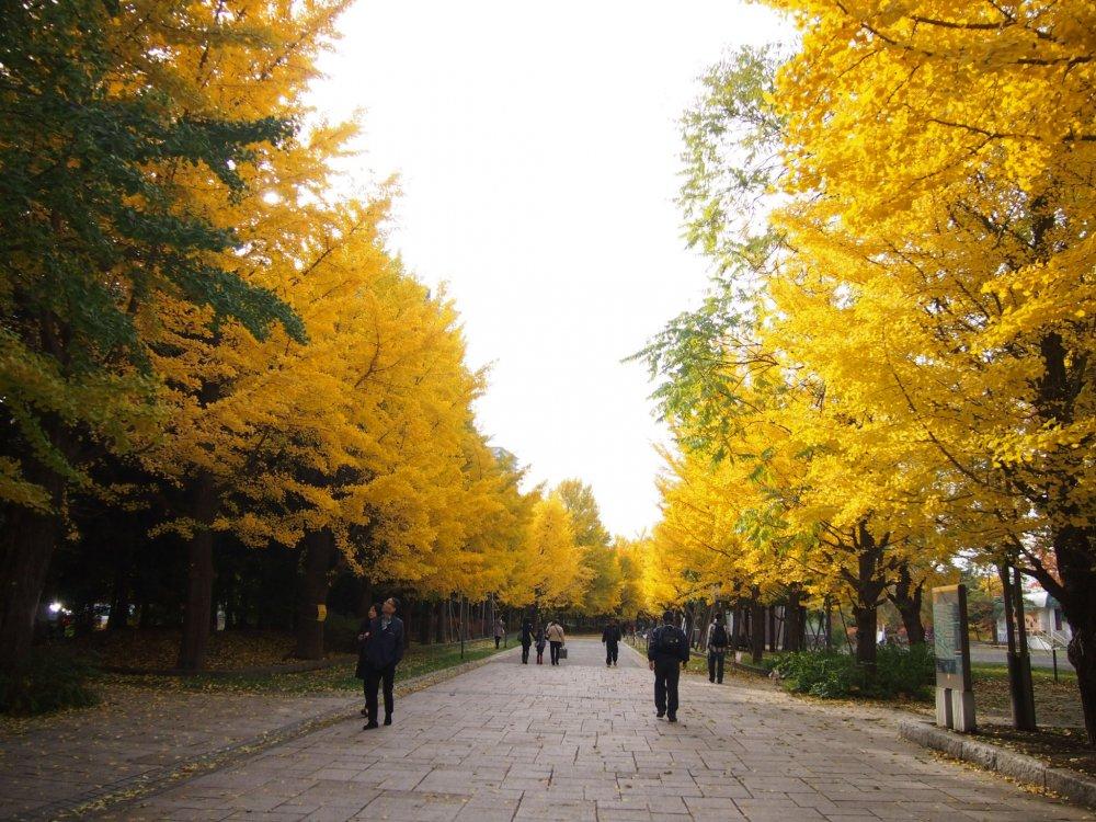 Des arbres dorés bordent un chemin dans le parc Nakajima