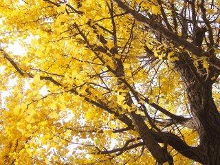 Un superbe exemple de feuilles dorées