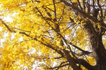 A gorgeous display of golden leaves.