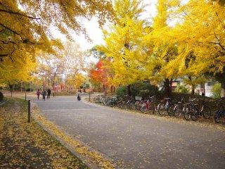 Quand le vent souffle, une pluie de feuilles jaunes tombe du ciel