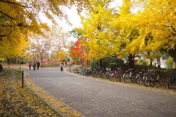 When the wind blew, yellow leaves rained down.