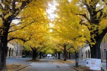 <p>The gingko trees as of late November, with the leaves turned but not yet falling.</p>