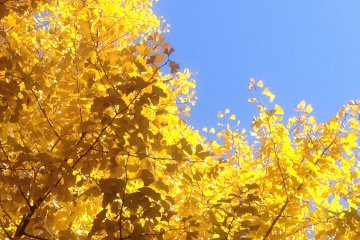 <p>The bright, pure yellow against the clear, blue autumn sky is quite a feast for the eye.</p>
