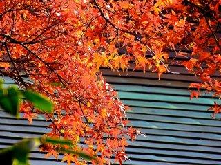 As folhas tornaram-se vermelhas brilhantes