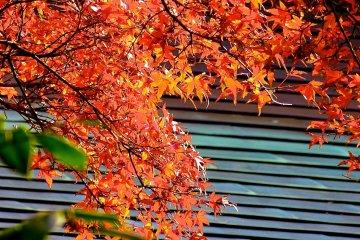 ใบไม้เปลี่ยนเป็นสีแดงกระจ่าง