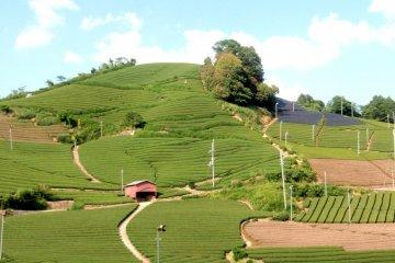 Чайные плантации Вадзука всего в часе езды от Киото