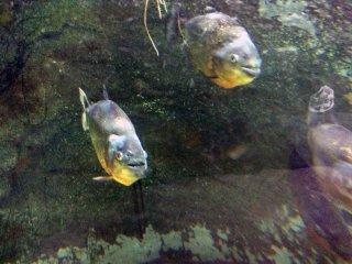 As piranhas dão-lhe as boas-vindas com os seus olhos esfomeados