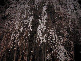 370-летняя плачущая вишня