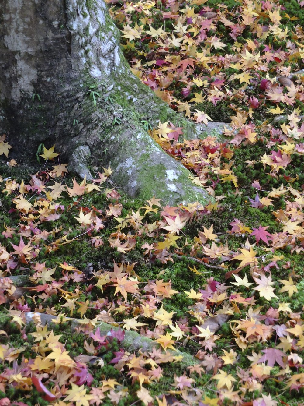 Maple leaves blanket a moss carpet