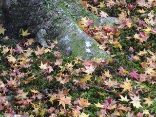 Maple leaves blanket a moss carpet
