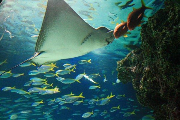 ปลากระเบนและฝูงปลานานาพันธุ์