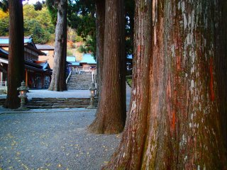One of the many trees on the temple grounds older than 300 years