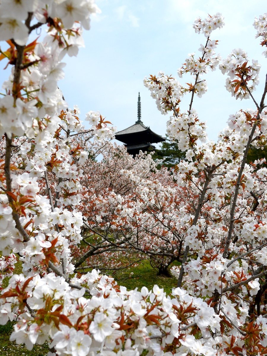 Pagode envolvido por flores de cerejeira
