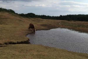 One of the horses drinking from a pond.