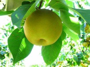 Pear-picking in Matsumoto Garden