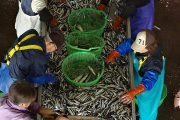 When I was there, the pacific saury had just come into the market and several workers had started to sort them according to size.