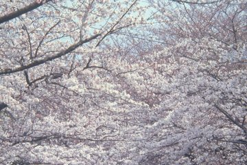 <p>이토의 벚꽃</p>