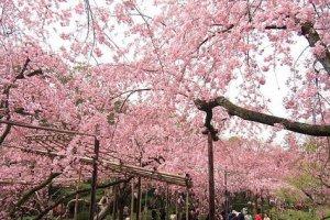 櫻花時節必遊!! 讓人為之著迷的平安神宮神苑!!