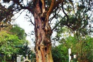 A 1,000-year old juniper