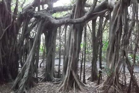 ガジュマル・バンヤン園、屋久島