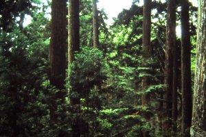 ต้นสนซีดาร์ต้นใหญ่ๆอายุหลายร้อยปี