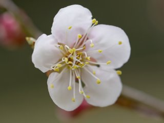 An ume, or plum (apricot) blossom, reaches for the light