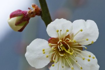 Mt. Iwara Plum Blossoms