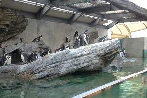 บรรดาเหล่านกเพนกวินที่ยืนรอให้นักท่องเที่ยวไปเก็บภาพประทับใจ