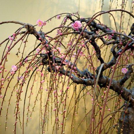 Triển lãm cây đào Bonsai