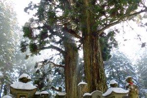 สุสานกับต้นสนเก่าแก่ อย่างกับป่าศักสิทธิ์เลย