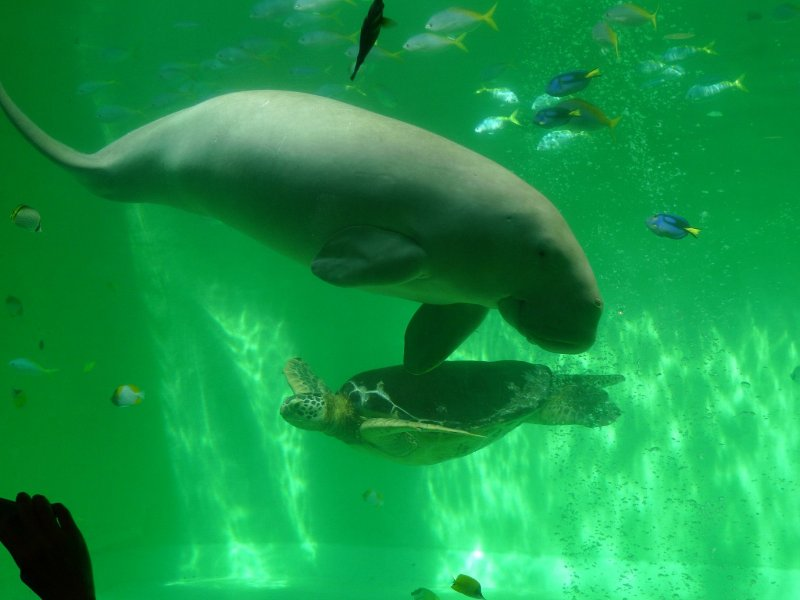 Dugong and Sea Turtle