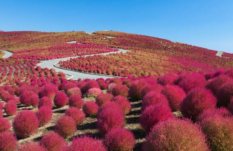 Vibrant kochia plants in autumn