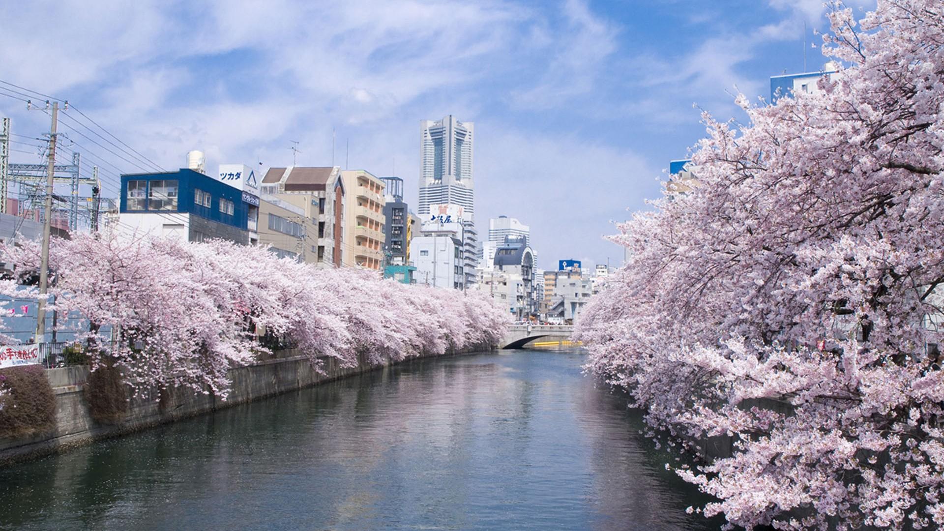 Sankeien cherry blossom lightup